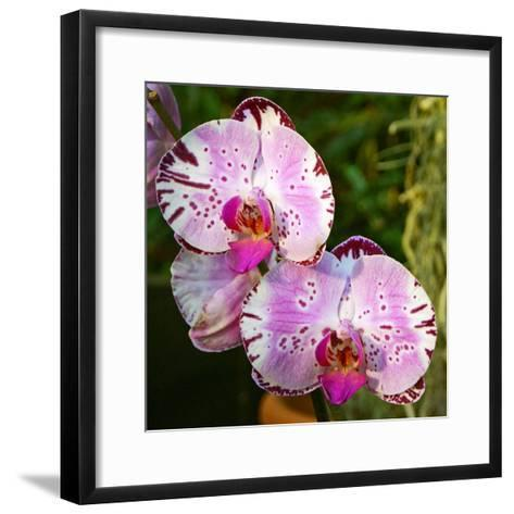 New Orchid Phalaenopsis 'Diamond Sky' on Display at the Kew Orchid Festival, Kew Gardens, London--Framed Art Print
