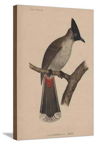 Ixos Haemorrhous (Gmelin)--Stretched Canvas Print