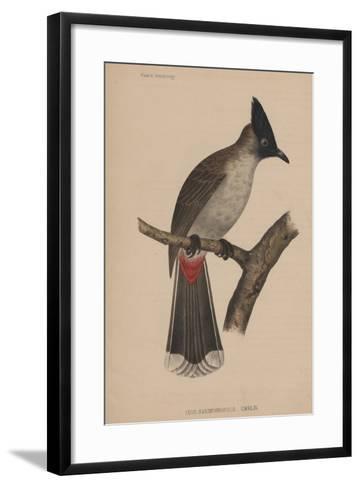 Ixos Haemorrhous (Gmelin)--Framed Art Print