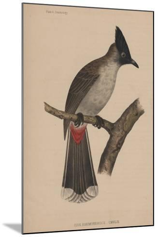 Ixos Haemorrhous (Gmelin)--Mounted Giclee Print