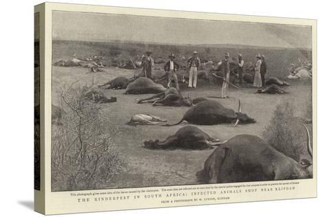 The Rinderpest in South Africa, Infected Animals Shot Near Klipdam--Stretched Canvas Print
