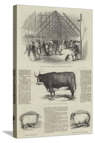 Smithfield Club Prize Cattle Show--Stretched Canvas Print