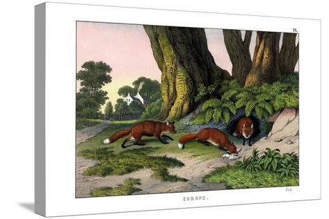 Common Fox, 1860--Stretched Canvas Print