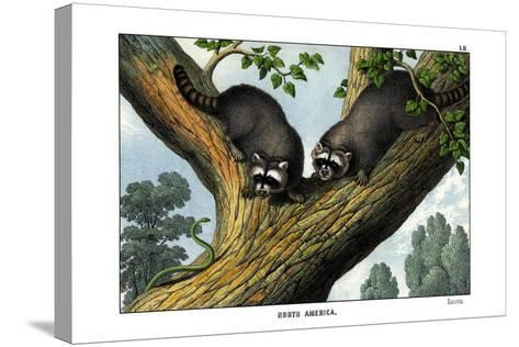 Racoon, 1860--Stretched Canvas Print
