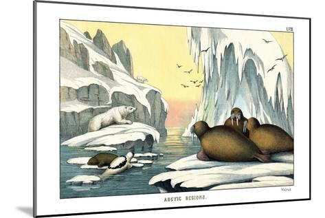 Walrus, 1860--Mounted Giclee Print