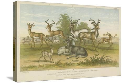 Antelopes--Stretched Canvas Print