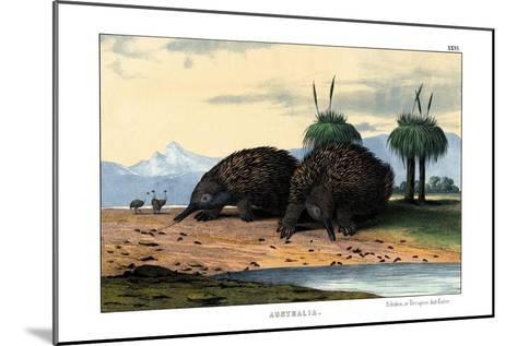 Echidna, 1860--Mounted Giclee Print