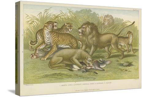 Big Cats--Stretched Canvas Print