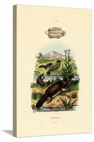 Duck-Billed Platypus, 1833-39--Stretched Canvas Print
