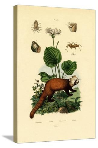 Palp-Footed Spider, 1833-39--Stretched Canvas Print