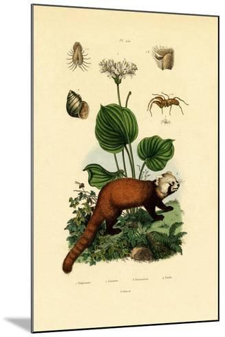 Palp-Footed Spider, 1833-39--Mounted Giclee Print