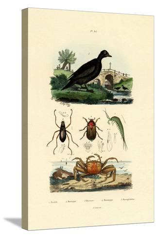 Velvet Scoter Duck, 1833-39--Stretched Canvas Print
