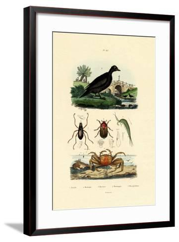 Velvet Scoter Duck, 1833-39--Framed Art Print