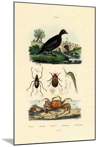 Velvet Scoter Duck, 1833-39--Mounted Giclee Print