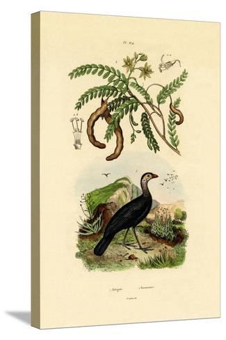 Australian Bush Turkey, 1833-39--Stretched Canvas Print