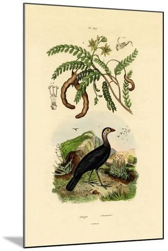 Australian Bush Turkey, 1833-39--Mounted Giclee Print