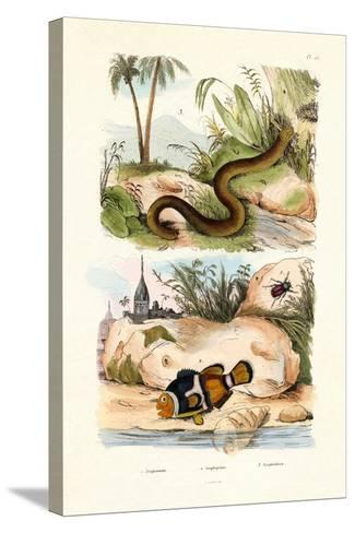 Orange Clownfish, 1833-39--Stretched Canvas Print