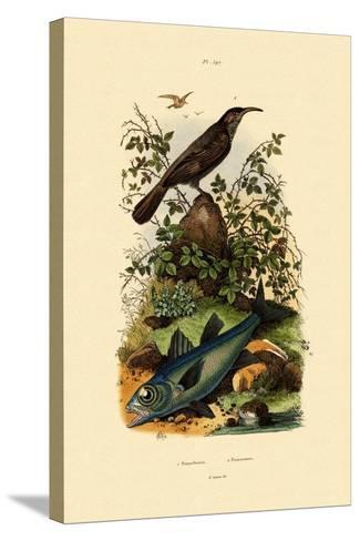 Scimitar Babbler, 1833-39--Stretched Canvas Print