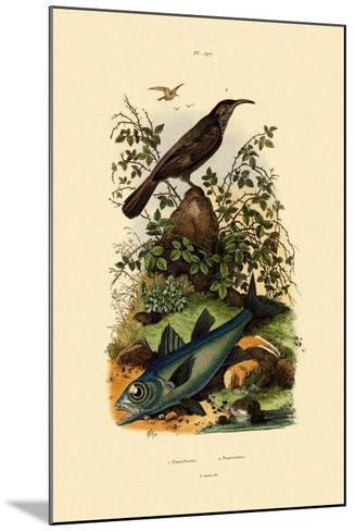 Scimitar Babbler, 1833-39--Mounted Giclee Print