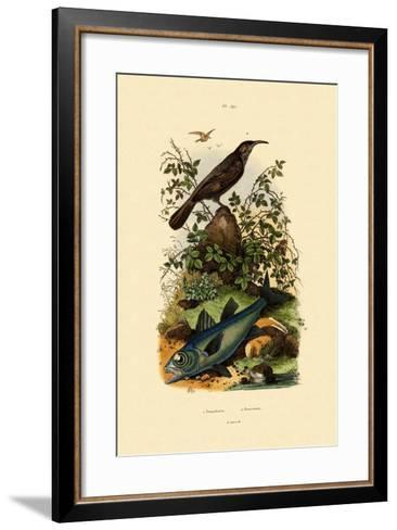 Scimitar Babbler, 1833-39--Framed Art Print