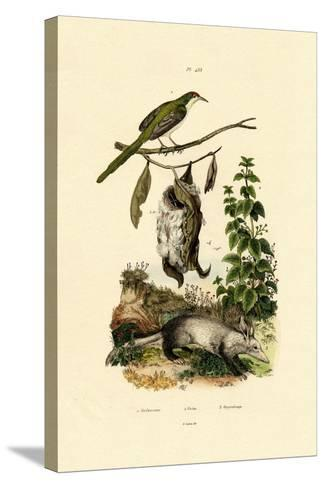 Common Tailorbird, 1833-39--Stretched Canvas Print