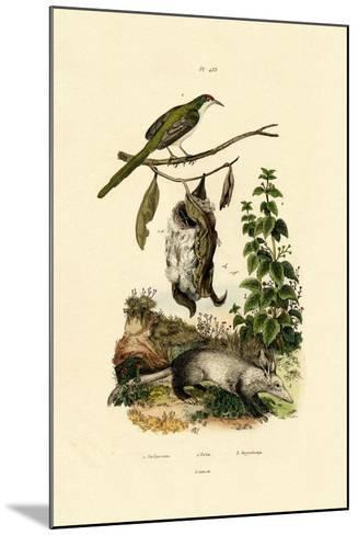 Common Tailorbird, 1833-39--Mounted Giclee Print