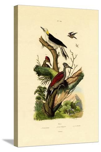 Greater Flameback, 1833-39--Stretched Canvas Print