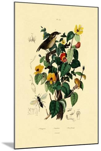 Handsome Flat Pea, 1833-39--Mounted Giclee Print