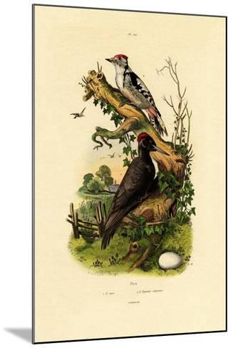 Greater Spotted Woodpecker, 1833-39--Mounted Giclee Print