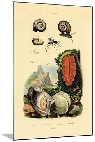 Window Pane Shell, 1833-39--Mounted Giclee Print