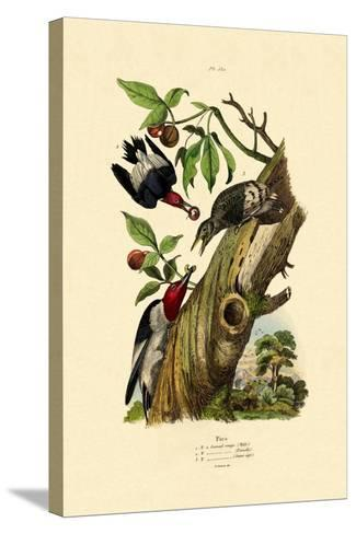 Red-Headed Woodpecker, 1833-39--Stretched Canvas Print