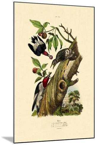 Red-Headed Woodpecker, 1833-39--Mounted Giclee Print