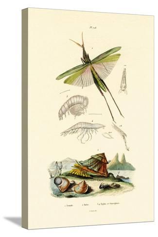 Slant-Faced Grasshopper, 1833-39--Stretched Canvas Print