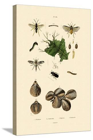 Mealworm Beetle, 1833-39--Stretched Canvas Print
