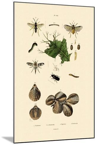 Mealworm Beetle, 1833-39--Mounted Giclee Print