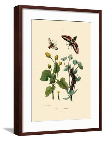 Privet Hawkmoth, 1833-39--Framed Art Print