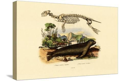 Cape Fur Seal, 1833-39--Stretched Canvas Print