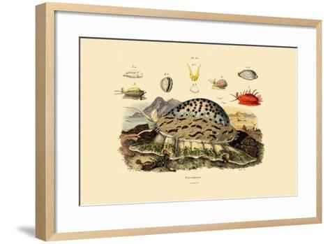 Cowrie Shells, 1833-39--Framed Art Print
