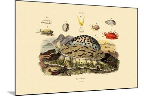Cowrie Shells, 1833-39--Mounted Giclee Print