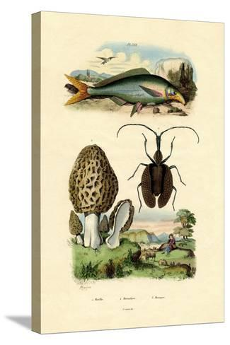 Eatable Morel, 1833-39--Stretched Canvas Print