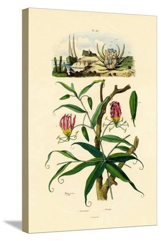 Gloriosa Lily, 1833-39--Stretched Canvas Print