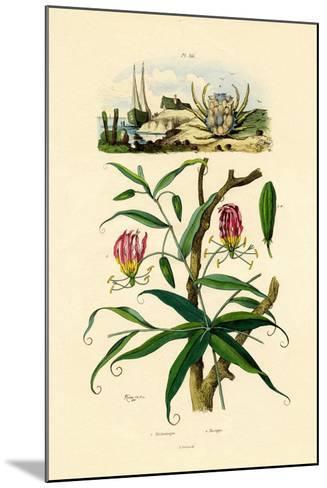 Gloriosa Lily, 1833-39--Mounted Giclee Print
