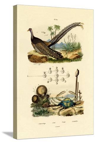 Argus Pheasant, 1833-39--Stretched Canvas Print