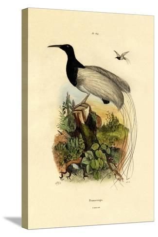 Cape Sugarbird, 1833-39--Stretched Canvas Print