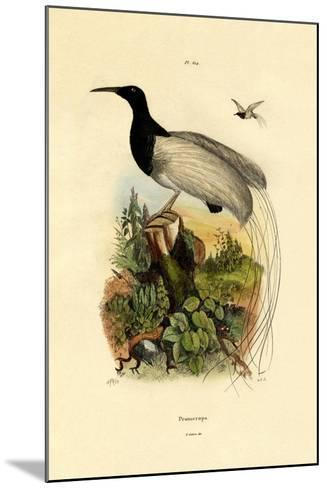 Cape Sugarbird, 1833-39--Mounted Giclee Print