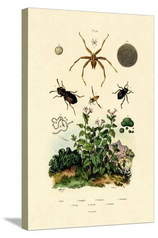Ground Beetle, 1833-39--Stretched Canvas Print