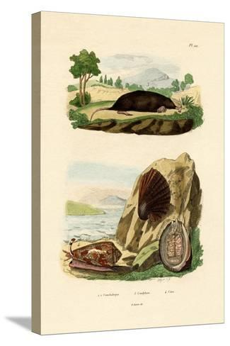 Native Mollusk, 1833-39--Stretched Canvas Print