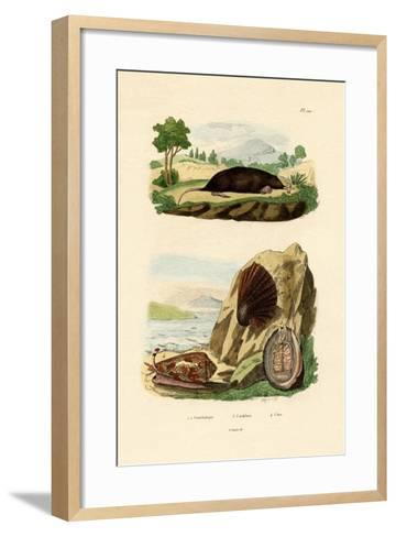 Native Mollusk, 1833-39--Framed Art Print