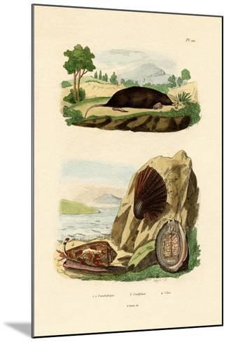 Native Mollusk, 1833-39--Mounted Giclee Print