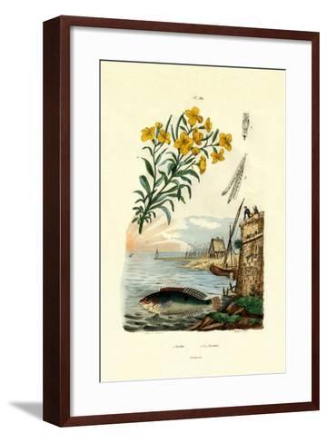 Rainbow Wrasse, 1833-39--Framed Art Print
